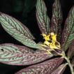 Three new species of Columnea (Gesneriaceae) ...