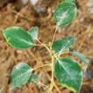Leaf epidermal micromorphology defining ...