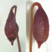Haplodontium altunense (Bryaceae, Bryopsida), ...