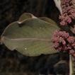 Euphorbia mbuinzauensis, a new succulent ...