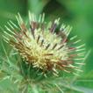 Cirsium taiwanense (Compositae, Cirsium ...