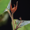 Perrottetia taronensis B.M.Barthol. & ...