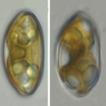Cymbopleura natellia – a new species f ...