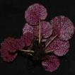 Saxifraga viridiflora (Saxifragaceae), ...