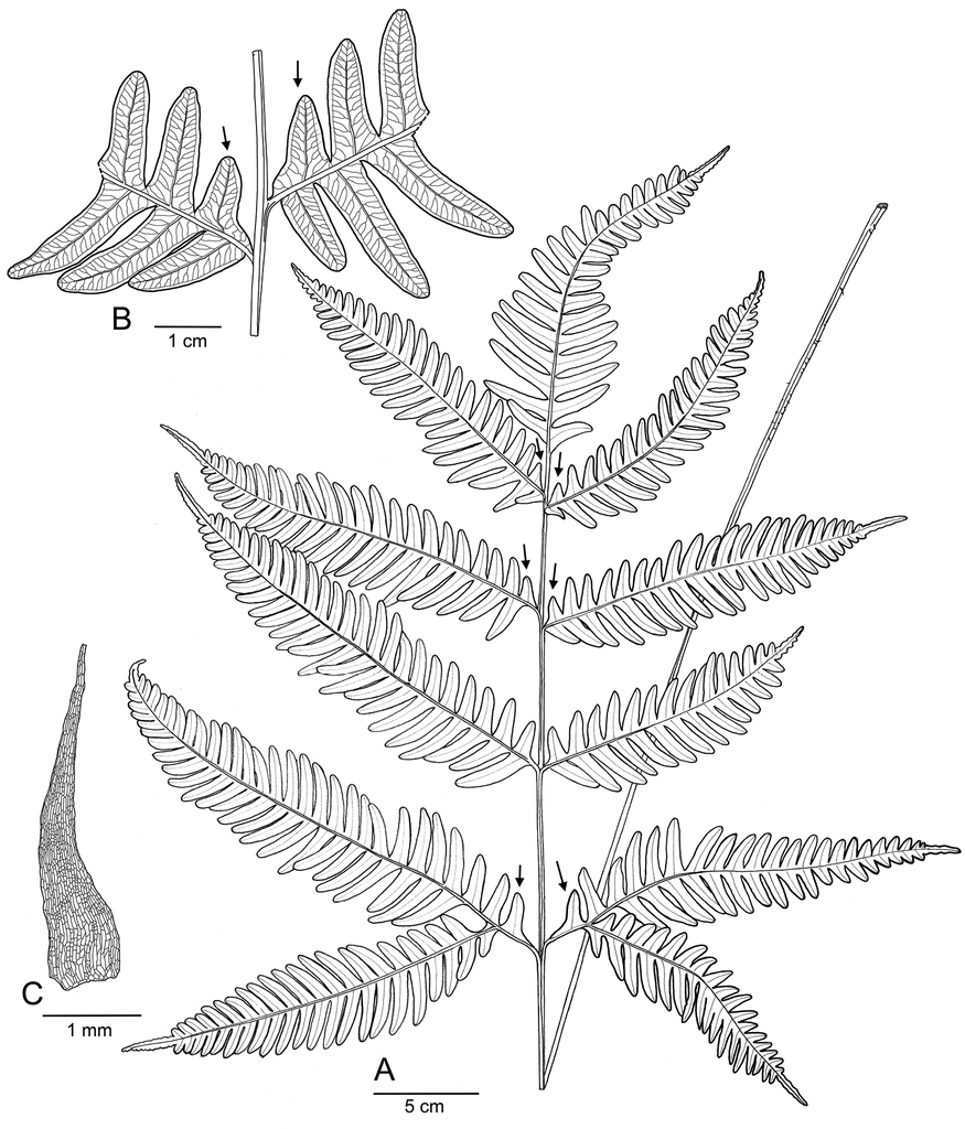 Pteris latipinna sp nov pteridaceae a new species segregated figure 3 ccuart Image collections