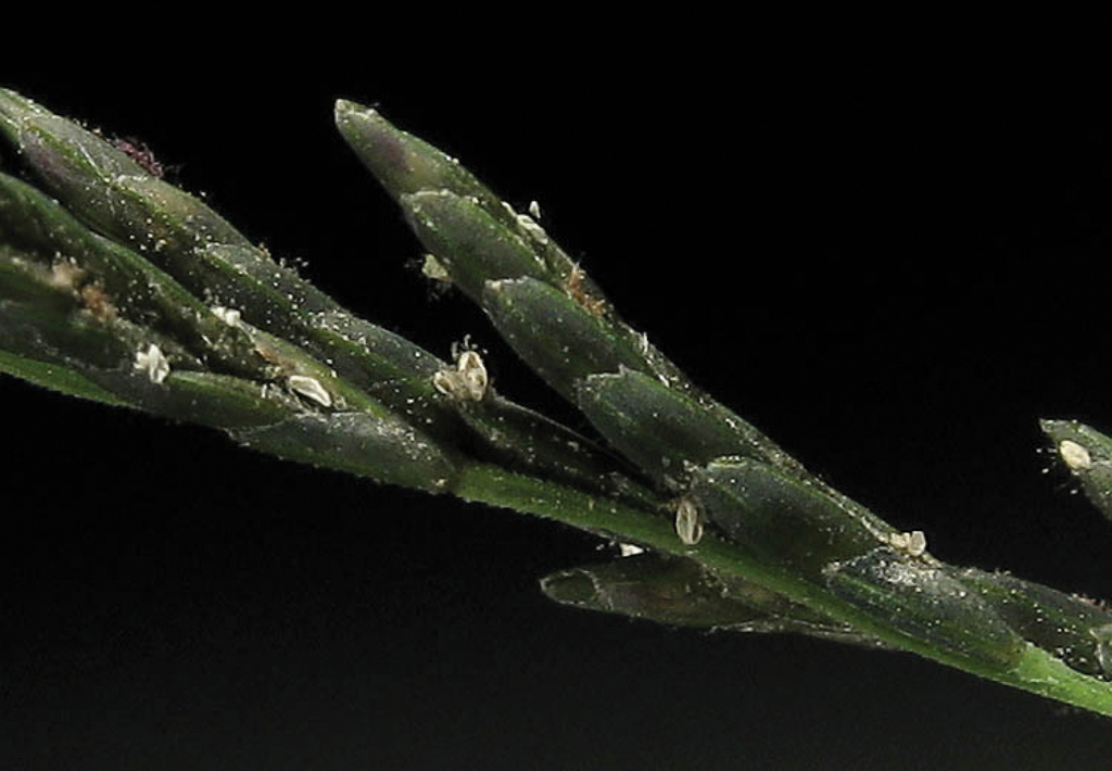 Monograph Of Diplachne Poaceae Chloridoideae Cynodonteae