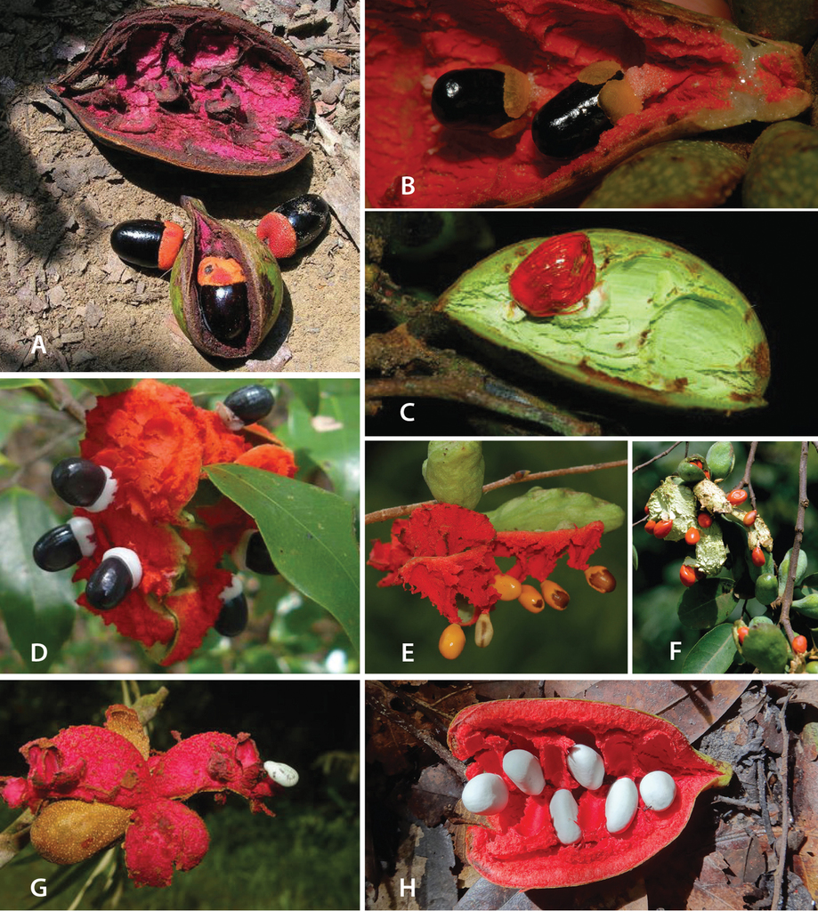 A revision of xylopia l annonaceae the species of tropical africa figure 4 fandeluxe Image collections