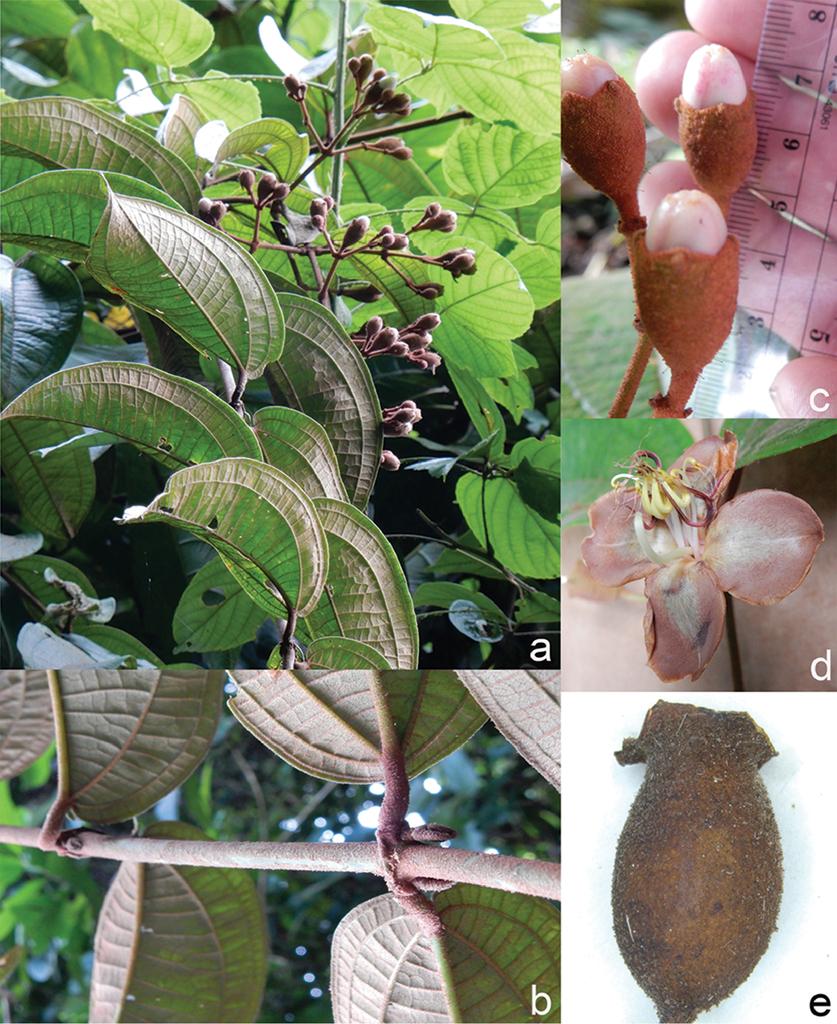 A Revision Of Dissochaeta Melastomataceae Dissochaeteae Madu Sj Type