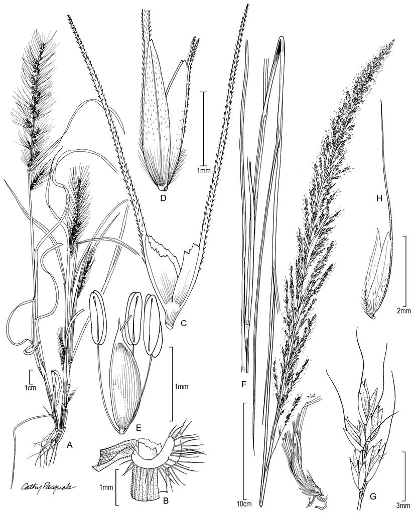 Revision of Muhlenbergia (Poaceae, Chloridoideae, Cynodonteae