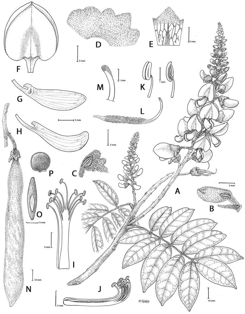 The Callerya Group redefined and Tribe Wisterieae (Fabaceae