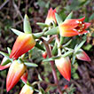 Taxonomic and floristic novelties for <i>Echeveria</i> (Crassulaceae) in Central Michoacan, Mexico