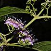 The identity of <i>Callicarpa minutiflora</i> Y. Y. Qian (Lamiaceae) and taxonomic synonym of <i>C. longifolia</i> Lamarck