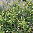 <i>Galium shinasii</i> (Rubiaceae): a new species of <i>Galium</i> L. from Eastern Turkey