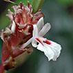 <i>Borneocola</i> (Zingiberaceae), a new genus from Borneo