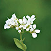<i>Arabis watsonii</i> (P.H.Davis) F.K.Mey.: An overlooked cruciferous species from eastern Anatolia and its phylogenetic position