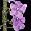 A remarkable new species of <i>Brunfelsia</i> (Solanaceae) from the eastern Andes of Central Peru