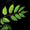 Two new species and a new combination in <i>Protium</i> (Burseraceae) from Costa Rica