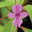 <i>Impatiens bokorensis</i> (Balsaminaceae), a new species from Cambodia