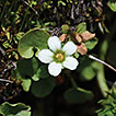 Four new synonyms and a new combination in <i>Parnassia</i> (Celastraceae)