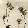 <i>Cousinia waldheimiana</i> (Asteraceae) a new record from Uzbekistan (Central Asia)
