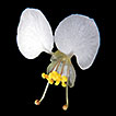 Synopsis of <i>Commelina</i> L. (Commelinaceae) in the state of Rio de Janeiro, reveals a new white-flowered species endemic to Brazil