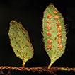 <i>Adetogramma</i> (Polypodiaceae), a new monotypic fern genus segregated from Polypodium
