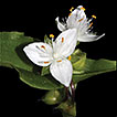 Novelties in Brazilian <i>Tradescantia</i> L. (Commelinaceae)