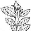 <i>Miconia papillosperma</i> (Melastomataceae, Miconieae): a new species from Amazonas, Brazil
