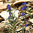 Molecular and morphological evidence for <i>Penstemon luculentus</i> (Plantaginaceae): a replacement name for <i>Penstemon fremontii</i> var. <i>glabrescens</i>