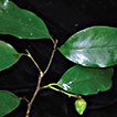 A new species of <i>Eustigma</i> (Hamamelidaceae) from Hon Ba Nature Reserve, Vietnam