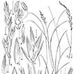 An updated checklist and key to the open-panicled species of <i>Poa</i> L. (Poaceae) in Peru including three new species, <i>Poa ramoniana</i>, <i>Poa tayacajaensis</i>, and <i>Poa urubambensis</i>