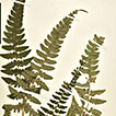 Typifications and synonymy in <i>Polystichum</i> (Dryopteridaceae) from Chile and Argentina