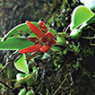<i>Bulbophyllum pingnanense</i> (Orchidaceae, Epidendroideae, Dendrobiinae), a new species from Fujian, China