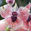 <i>Telipogon diabolicus</i> (Orchidaceae, Oncidiinae), a new species from southern Colombia
