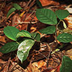 <i>Popowia bachmaensis</i> (Annonaceae), a new species from Bach Ma National Park, Central Vietnam