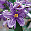 "A revision of the ""African Non-Spiny"" Clade of <i>Solanum</i> L. (<i>Solanum</i> sections <i>Afrosolanum</i> Bitter, <i>Benderianum</i> Bitter, <i>Lemurisolanum</i> Bitter, <i>Lyciosolanum</i> Bitter, <i>Macronesiotes</i> Bitter, and <i>Quadrangulare</i> Bitter: Solanaceae)"