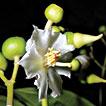 A Monograph of <i>Conostegia</i> (Melastomataceae, Miconieae)