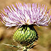 <i>Cirsium semzinanicum</i> (Asteraceae), a new species from Hakkâri, Turkey