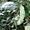 <i>Jasminanthes xuanlienensis</i> (Apocynaceae, Asclepiadoideae), a new species from Vietnam