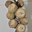 <i>Lithocarpus dahuoaiensis</i> (Fagaceae), a new species from Lam Dong Province, Vietnam