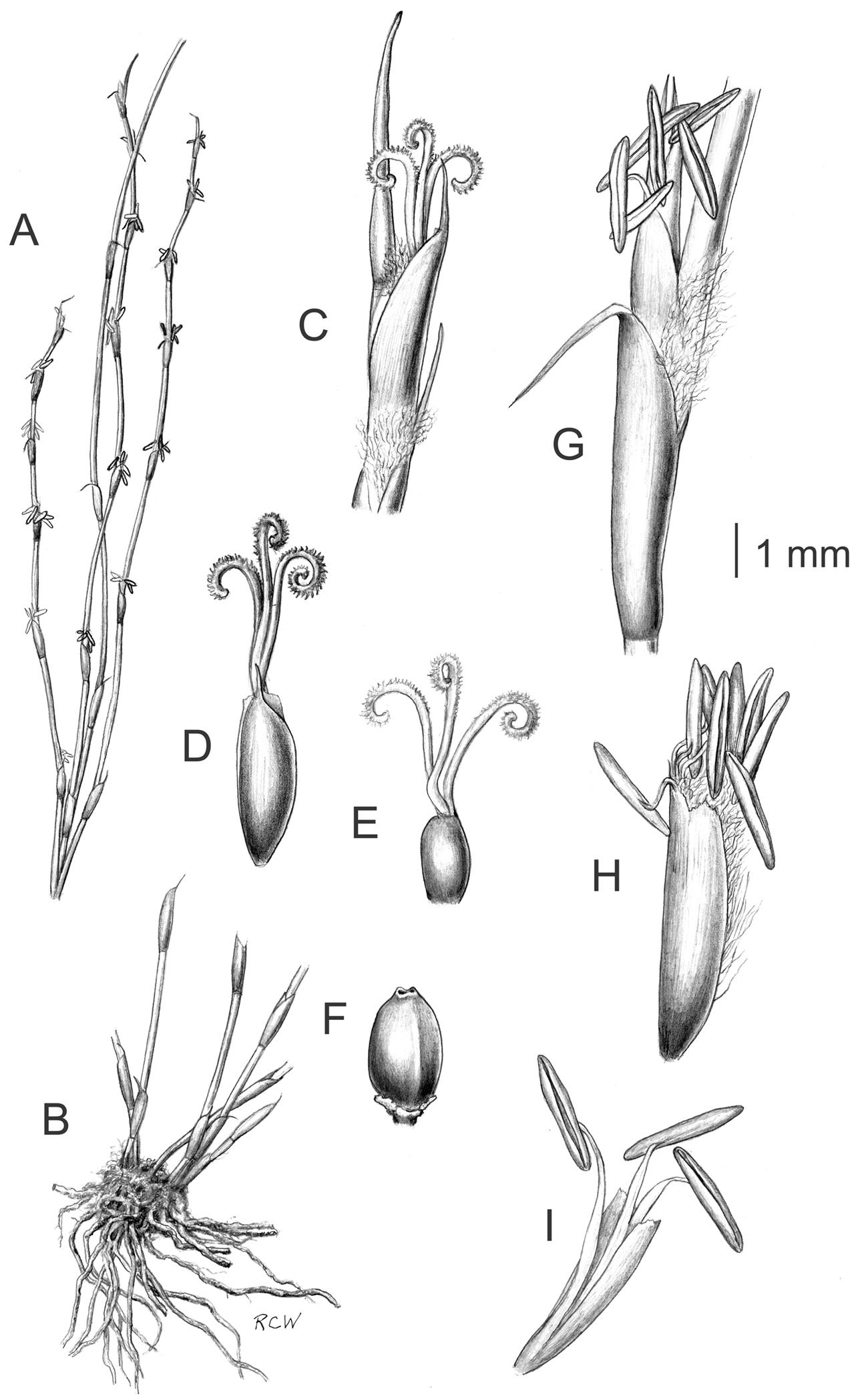 Systematics and ecology of the Australasian genus Empodisma