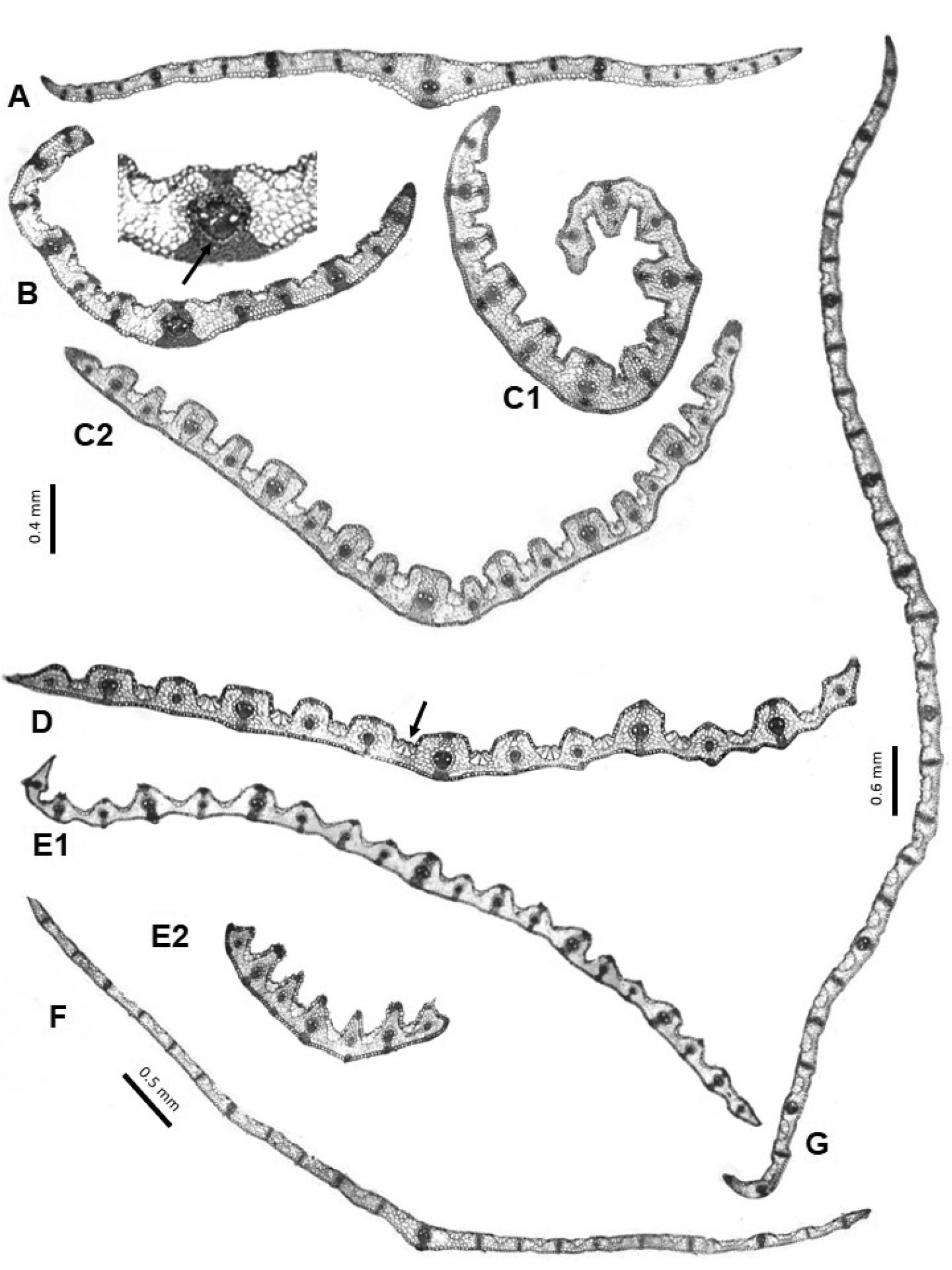 Study of the leaf anatomy in cross-section in the Iberian species of ...